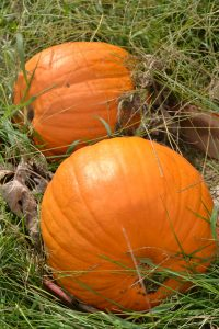 two pumpkins in a patch